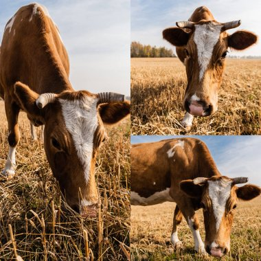 Collage of cow with horns eating grass on pasture in ukraine stock vector