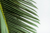 close up view of green palm leaf isolated on white