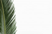 top view of green palm leaf isolated on white