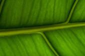 Nahaufnahme Ansicht des grünen Palmblattes Hintergrund