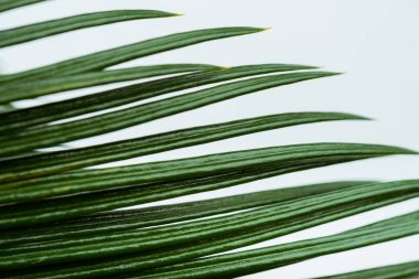 Close up view of green palm leaf isolated on white stock vector