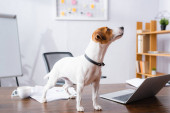 Photo jack russell terrier dog standing on office desk near laptop and documents