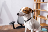 Selective focus of jack russell terrier looking away on office table