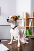Selective focus of jack russell terrier sitting beside notebook on table in office