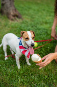 Cropped view of young woman holding ice cream near jack russell terrier dog