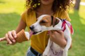 Ausgeschnittene Ansicht einer jungen Frau mit Jack Russell Terrier Hund beim Eislecken