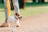 partial view of woman strolling with jack russell terrier dog on leash