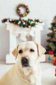 labrador v zdobené vánoční byt na rozmazaném pozadí