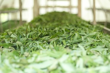Green leaves of willow-herb on the shelves .Treatment flowering leaves and prepare for fermentation.