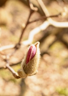 Spring Garden Blooming Magnolia