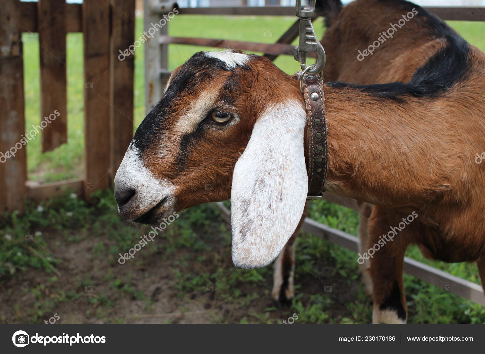 Nubian Goat Fence Bay Brown Country Ears Farm — Stock Photo