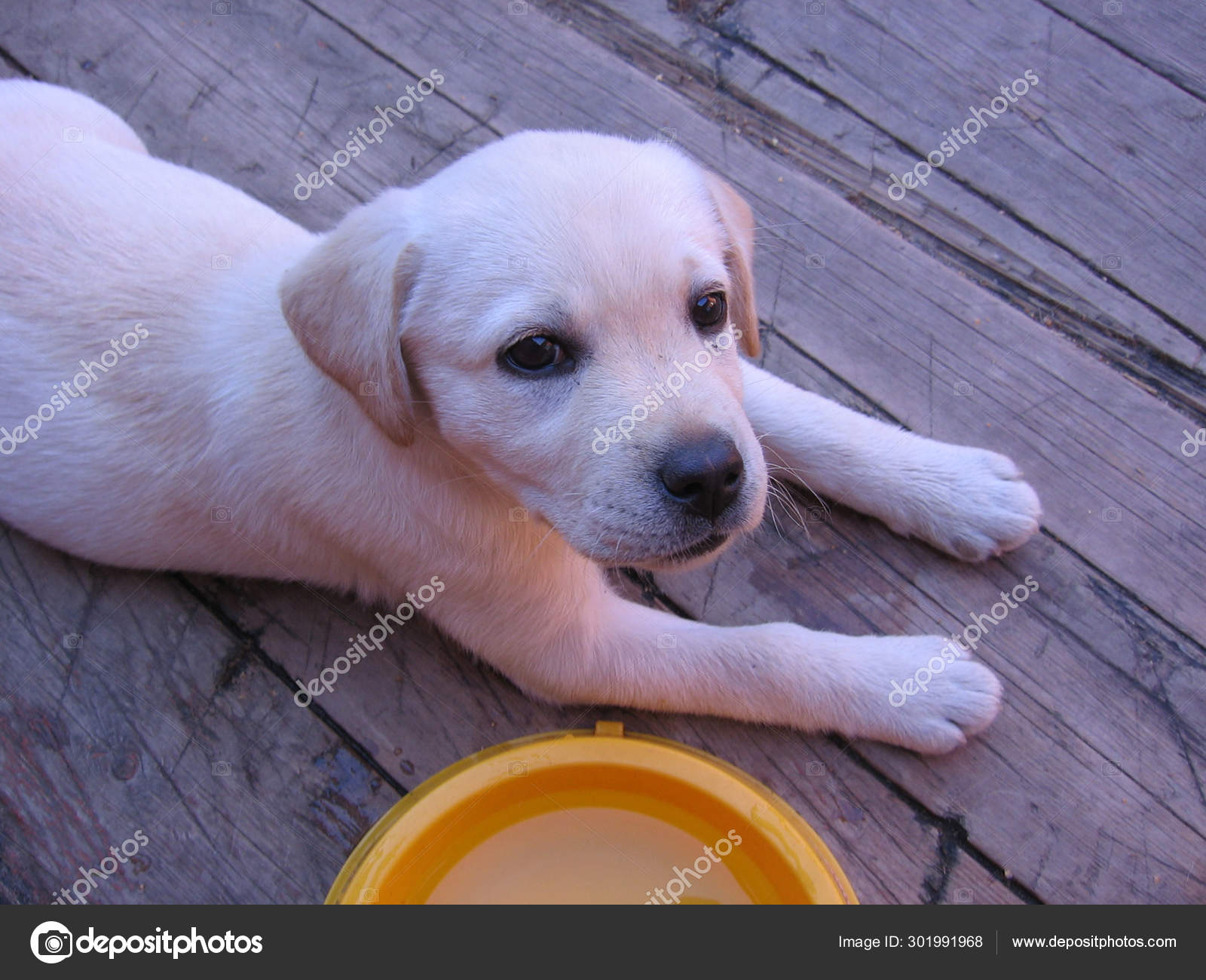 Cute Little White Puppy Labrador Lying Beside An Empty Bowl Stock Photo C Alyamosurova 301991968