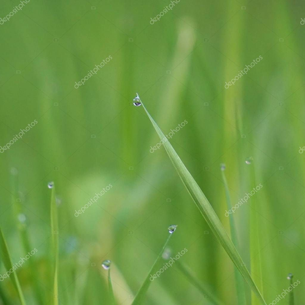 the raindrops on the green grass plant in the garden in the nature