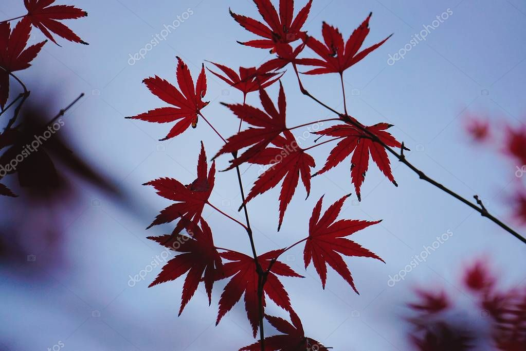 the red tree leaves in the nature