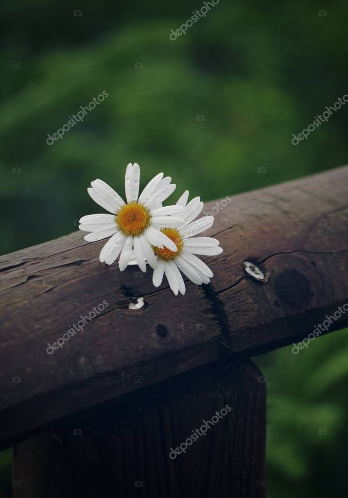 the beautiful white daisy in the garden in the nature