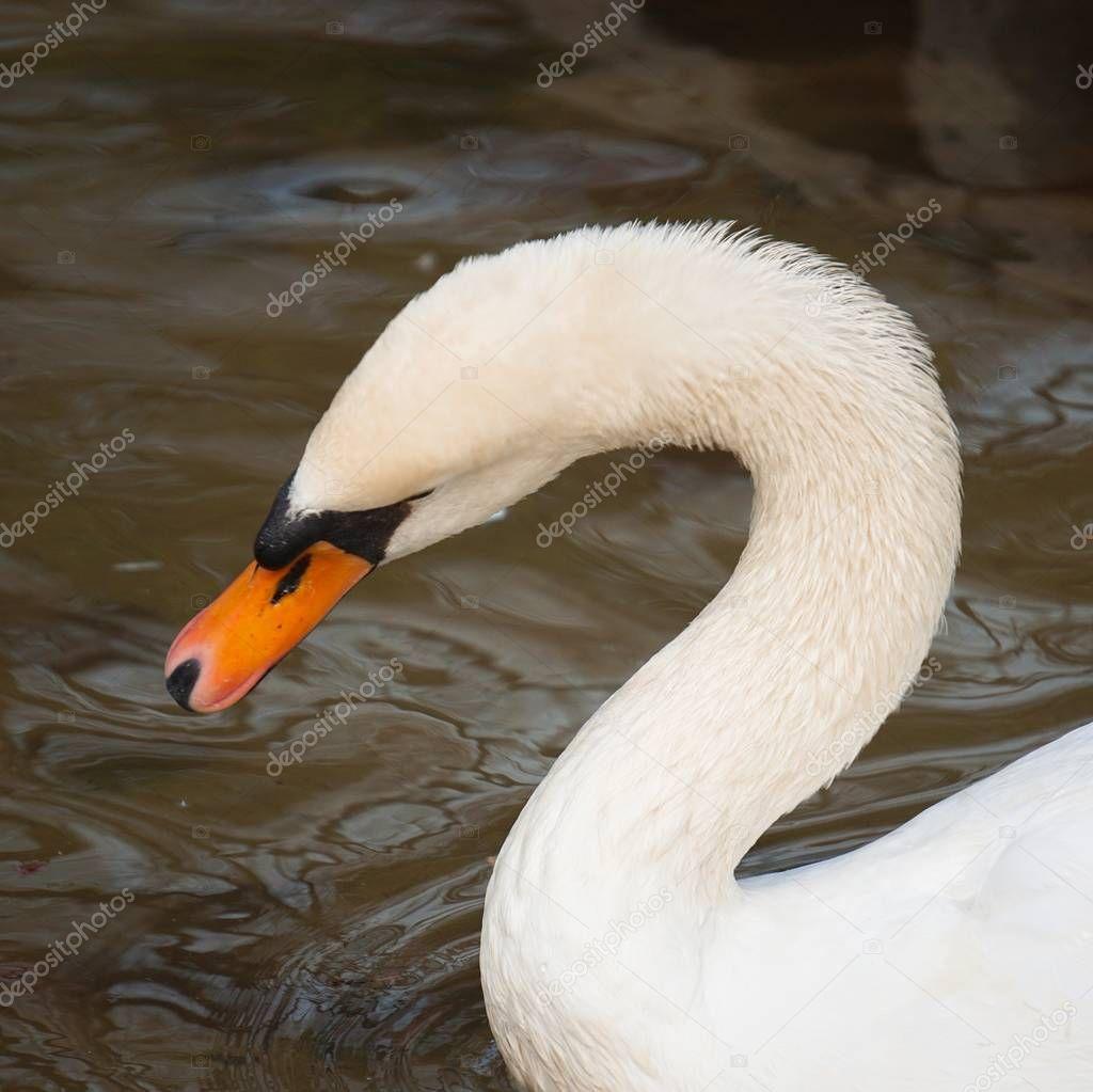 elegant white swan in the lake in the park