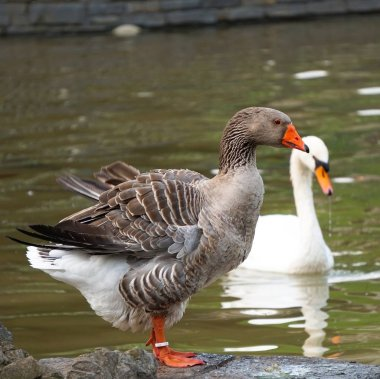 the goose duck bird in the lake in the park