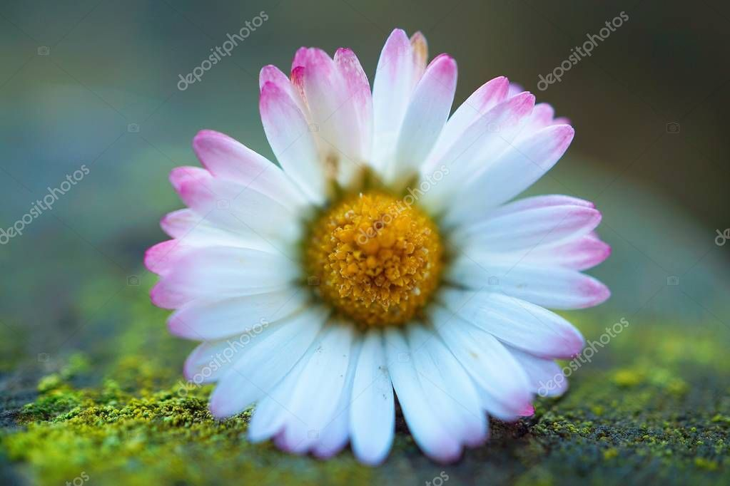 romantic white daisy flower decorative in the garden