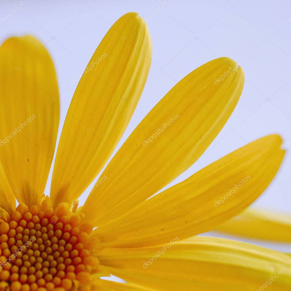romantic yellow flower decorative in the nature
