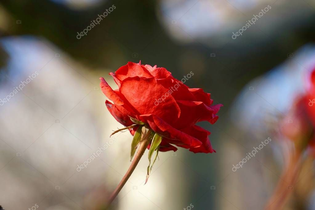 romantic red rose flower decoration in the garden