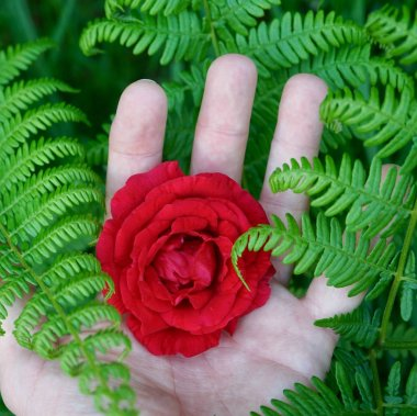 hand with a beautiful red rose flower plant in the nature