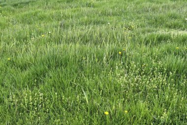 Detailed close up view on green grass and meadows with some small flowers taken in summer
