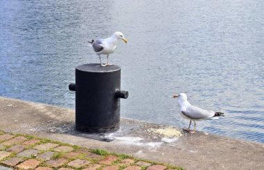 Hungry sea gull at a quay wall of the port in Kiel Germany