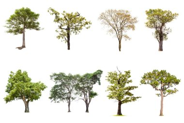 Isolated big tree on white background ,The collection of trees.Large trees database Botanical garden organization elements of Asian nature in Thailand, tropical trees isolated used for design,
