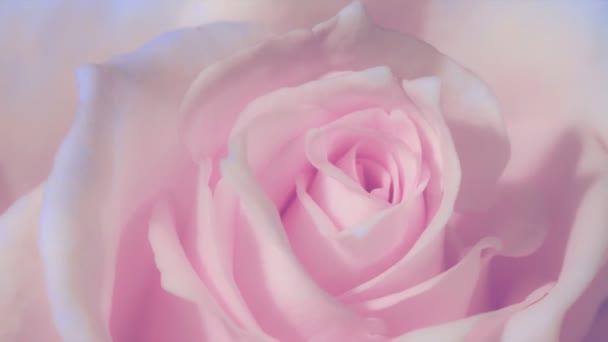 Timelapse, zblízka otevření růžové růže, kvetoucí růžové růže, krásná animace, Full Hd
