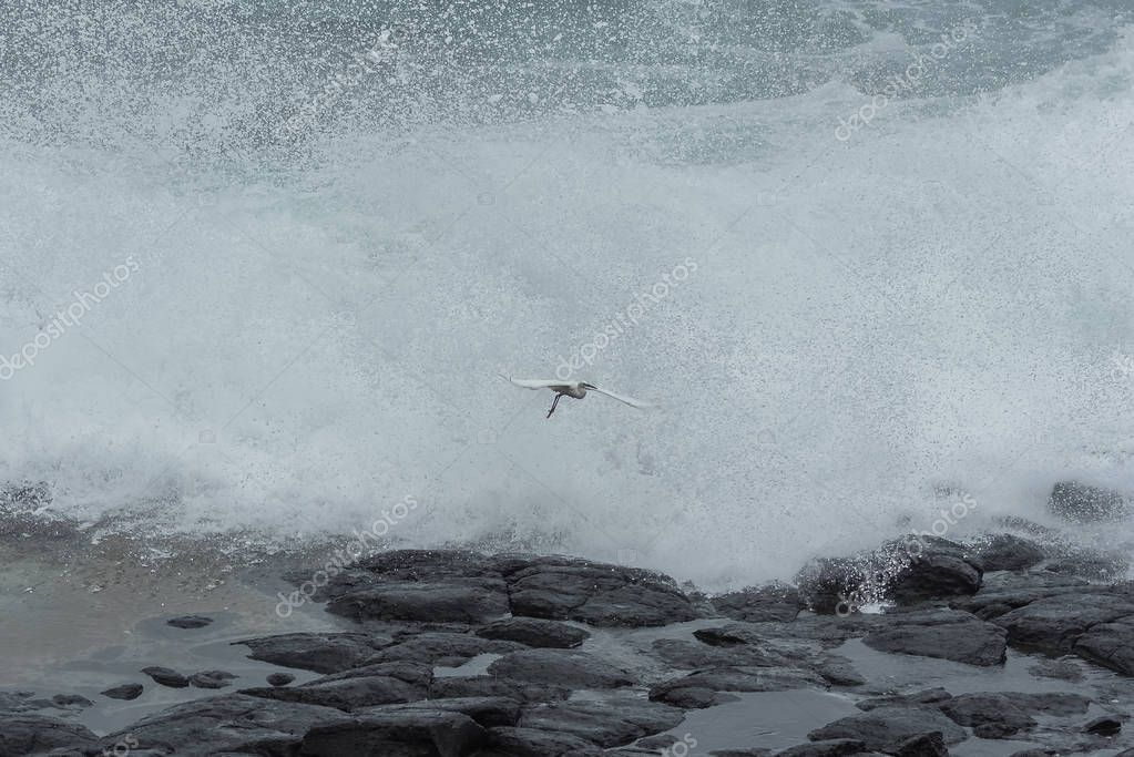 Little egret flying behind big waves crashing in Sao Tome, Hellmouth, Boca do Inferno