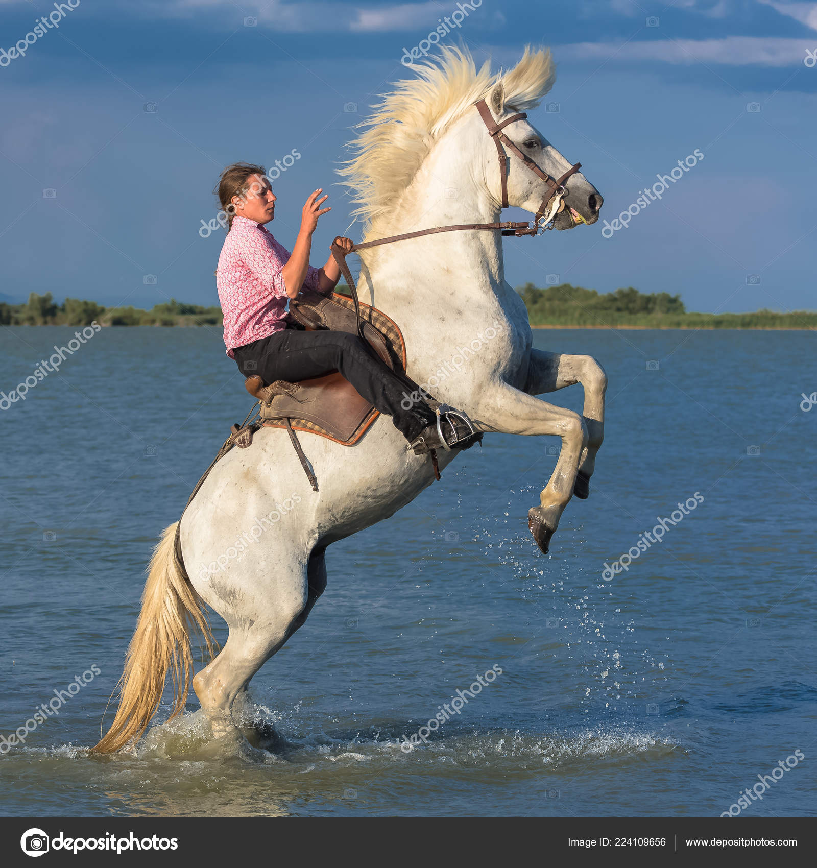 Camargue France White Horse Rearing His Rider Water Beautiful Horse Stock Editorial Photo C Pascalegueret 224109656