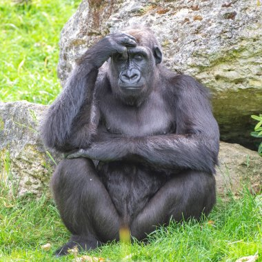 Gorilla, monkey, dominating male sitting in the grass, thinking