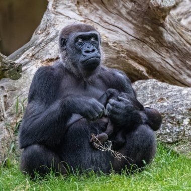 Gorilla and baby, monkeys family sitting on the grass
