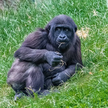 Gorilla, young monkey sitting in the grass, funny attitude