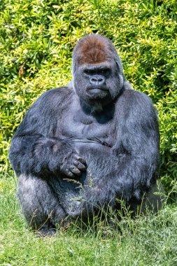 Gorilla, monkey, dominating male sitting in the grass, funny attitude