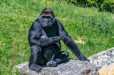 Gorilla, monkey, female sitting in the grass, funny attitude
