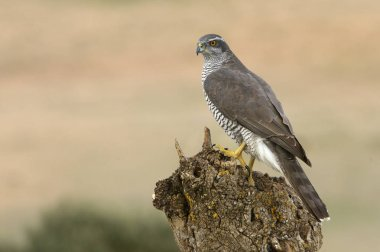 Two years old male of Northern goshawk, Accipiter gentilis