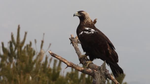 Erwachsener spanischer Kaiseradler, Aquila adalberti, Adler
