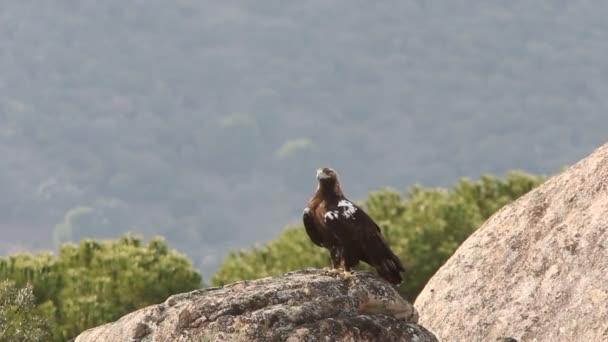 Felnőtt spanyol császári sas, Aquila adalberti, sasok