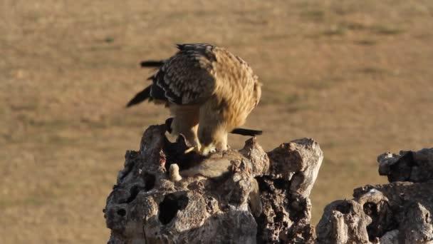 Fiatal spanyol császári sas, raptor, sólyom, sasok, Aquila adalberti