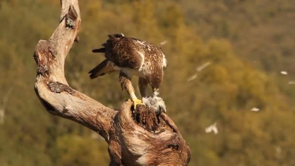 Bonellis sas, sasok, sólymok, madarak, Aquila fasciata