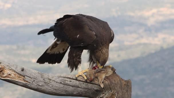 junges Steinadlerweibchen mit den ersten Lichtern des Morgens, Aquila chrysaetos