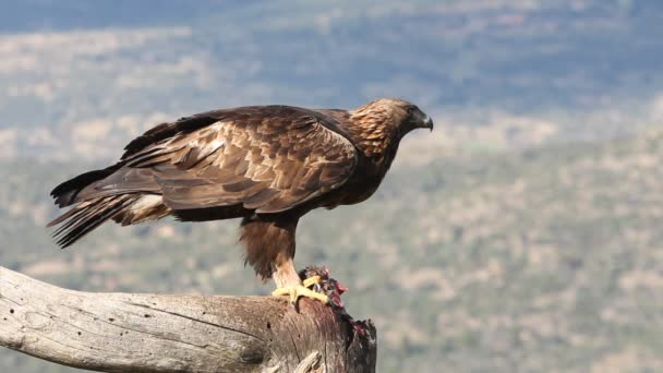 Dospělý pes Zlatého orla s prvními ranními světly, Aquila chrysaetos