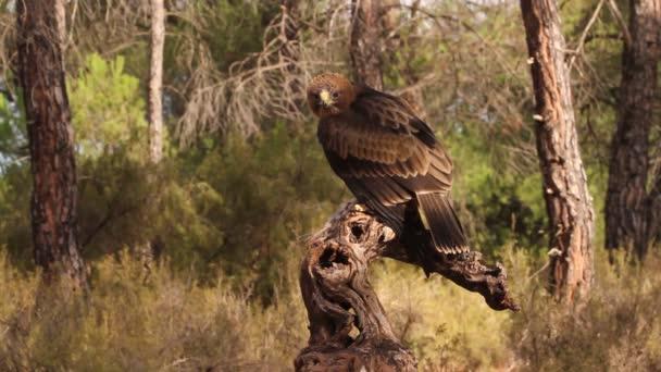 junge Stiefeladler phale morph, Vögel, Greifvögel, Adler, Aquila pennata