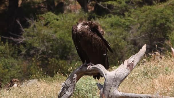 Black vulture, scavenger, birds, Aegypius monachus