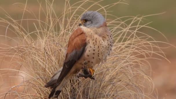 Kisebb vércse, Falco naunanni