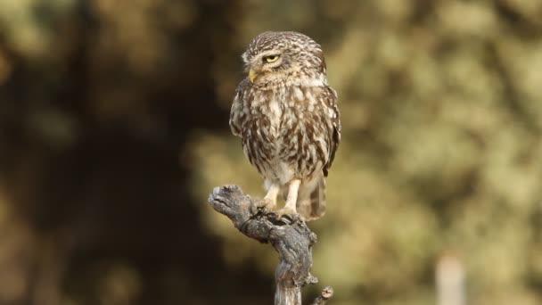 Kis bagoly (Athene noctua, olws)