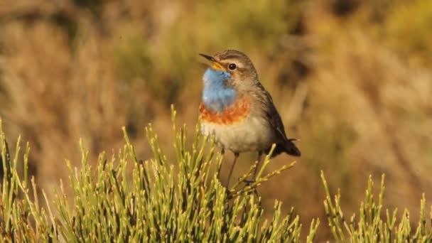Blaukehlchen, Luscinea svecica, Vögel, Singvögel