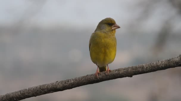 Grünfink, Chloris chloris, Vögel
