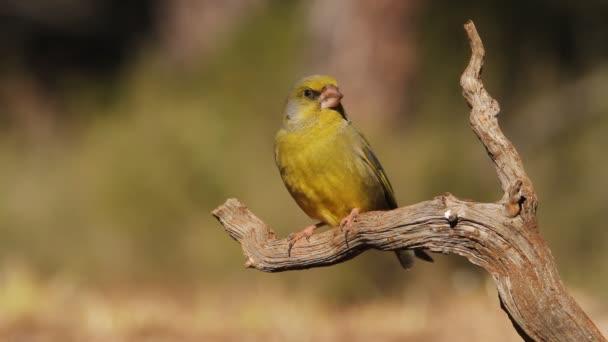 Zöldpinty (chloris chloris) madarak